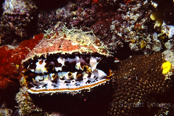 Indo-Pacific Scallop