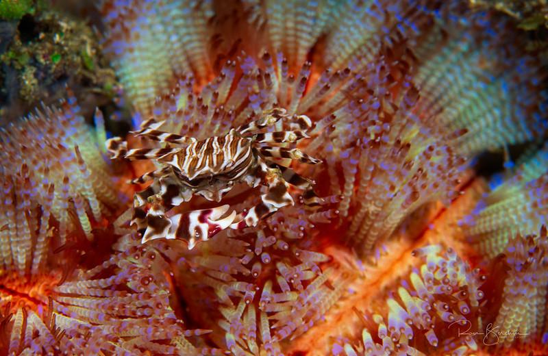 Zebra Crab, Indonesia