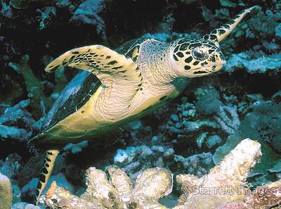 Ridley Sea Turtle