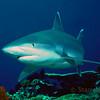 Grey Shark