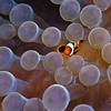 Juvenile Anenomefish