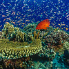 Coral Trout and Anthias, Fiji