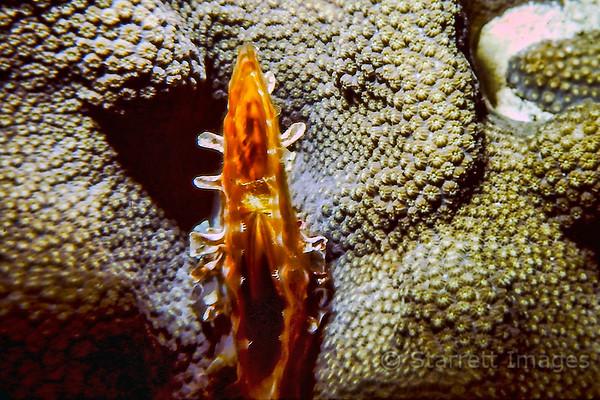 Coral Scvallop