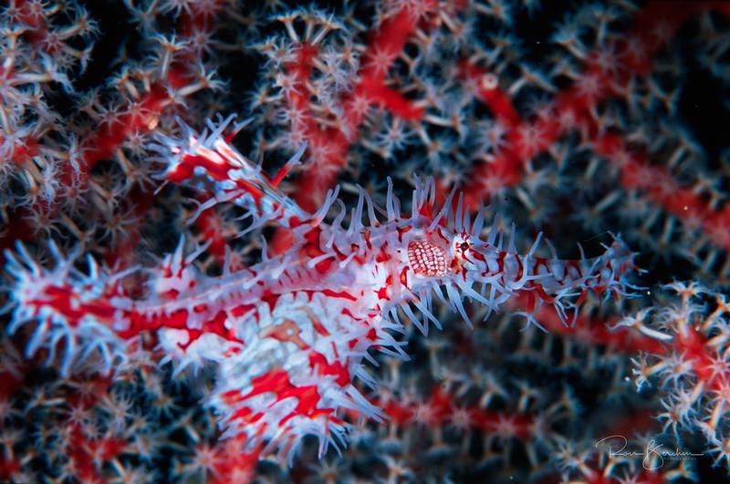 Ornate  Ghost Pipefish, Indonesia