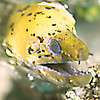 Yellow Moray