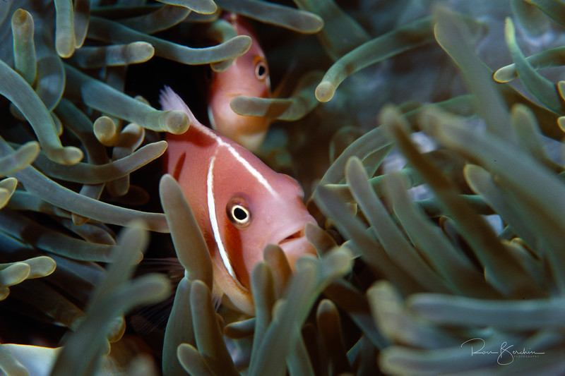 Pink Anemonefish, Papua New Guinea