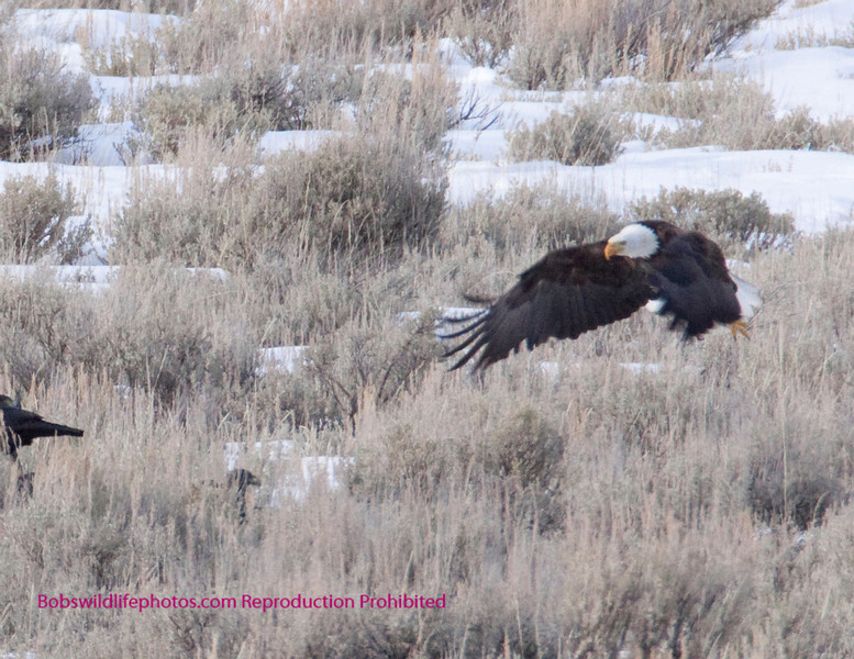 Teh Bald Eagle continues on a landing approach.