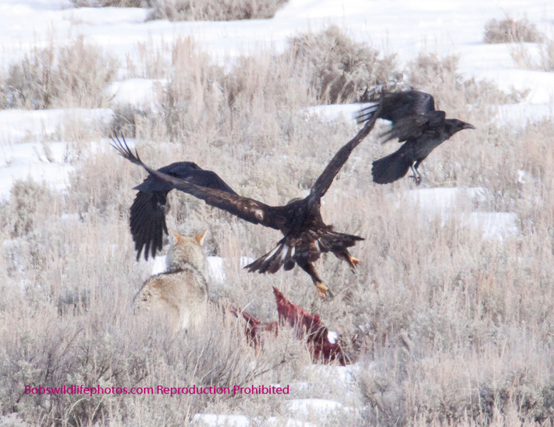 These next few shots are really unusual. The coyote has come to the kill after the wolves moved off. AS he starts to eat a pair of golden eagles come in.