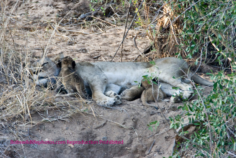 This is one of the three females seen on the impala kill. she was lying above the river with the young male in the rocks below her. Note three cubs. It was estimated that at most they are only a couple of weeks old. This shot was taken at a distance of approximately 500 yards.