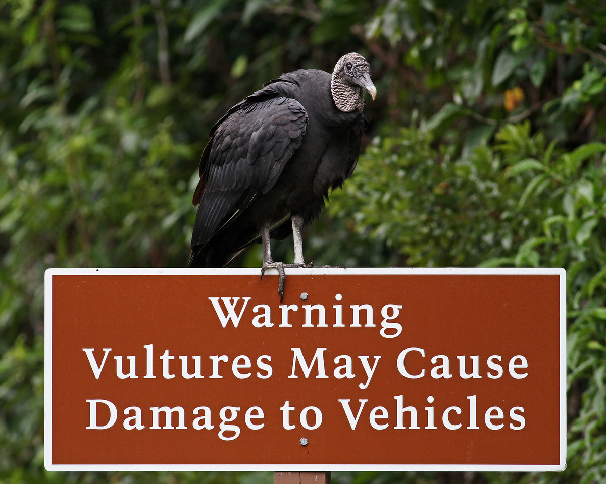 black vulture endorses the message, Everglades National Park, FL
