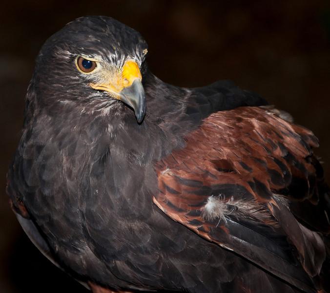 Hawk (Captive) at Capilano Suspension Bridge