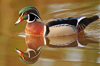 Wood Duck 14