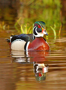 Wood Ducks 006