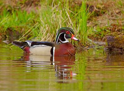 Wood Duck 016