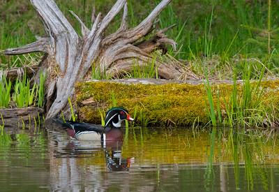 Wood Duck 42