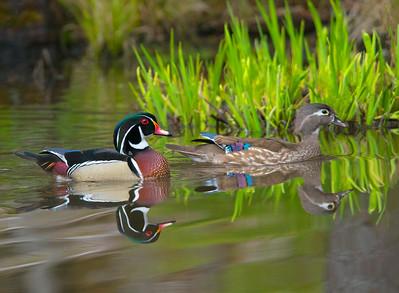 Wood Duck 45