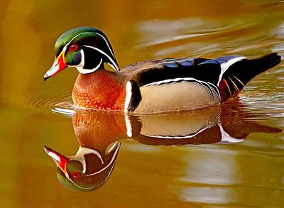 Wood Duck 24