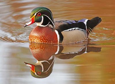 Wood Duck 10