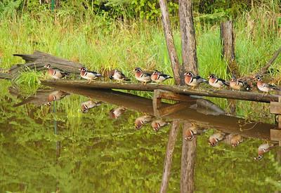 Wood Duck 34