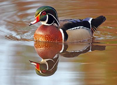 Wood Duck 26