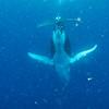 Diving Calf