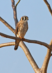 american kestrel, January in Vero Beach, FL