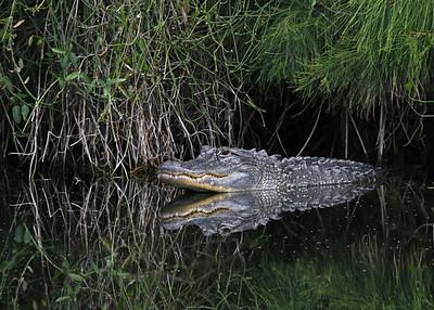 alligator in January, Vero Beach, FL