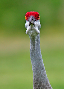 sandhill crane in April, Vero Beach, FL