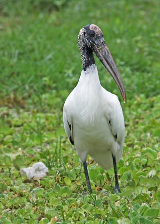 wood stork, April in Vero Beach, FL