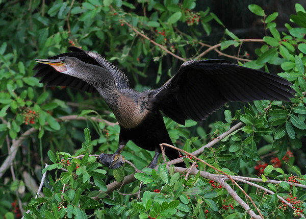 anhinga male in January, Vero Beach, FL