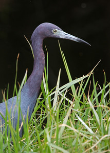 little blue heron, January in Vero Beach, FL
