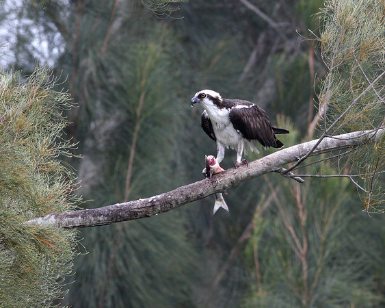 osprey eating fish in December, Vero Beach, FL