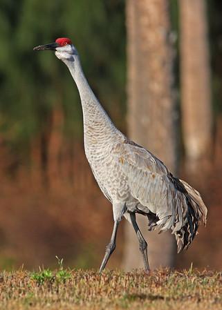 sandhill crane in January, Vero Beach, FL