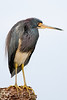 "Another view of the ""neckless"" tri-colored heron."