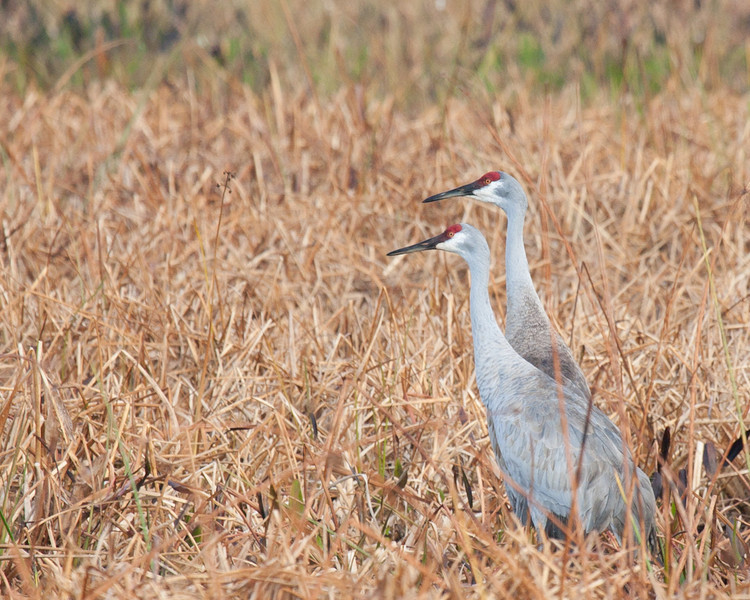 Two sandhill cranes on a not-so-wet pond. These cranes are usually partnered, so if you see one, the other is usually nearby. Or, during nesting season you may see one standing while the other is sitting, presumably on eggs.