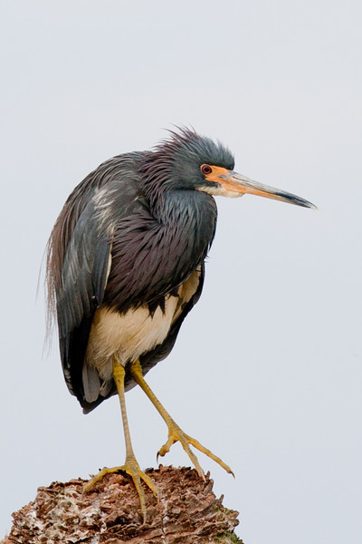 A tri-colored heron atop a palm tree stump. One doesn't normally see these birds with their neck so pulled in.