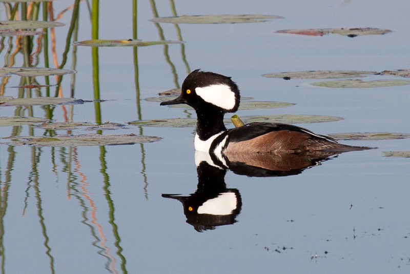 A male hooded merganser and its reflection. Both the male and the female mergansers are very pretty birds. I had a couple shots of the female, but they weren't good enough to share. Maybe next time. Both sexes have hoods, but they are very different, and both sexes can raise or lower it at will. Also maybe next time. This male's hood is raised to about half of its maximum height.