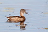 And the female ring-necked duck and its surreal reflection.