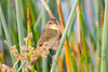 I think this is a female common yellowthroat, but I'm not certain. If someone knows that my idenfication is wrong, please let me know. Thanks. This lady is here hanging out at the base of the reeds.