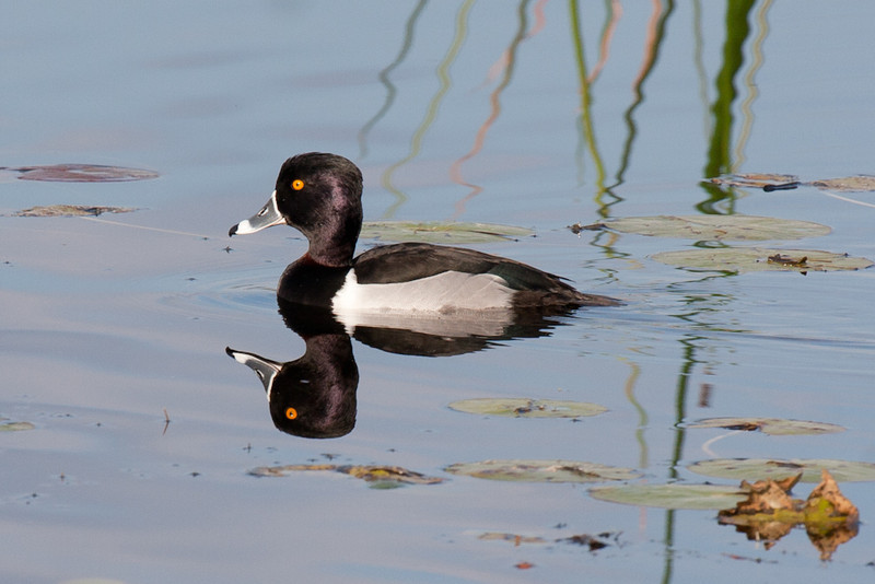 Again, the male ring-necked duck and its reflection.