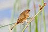 Again what I think is a female yellowthroat. She started walking up the reed. I thought she was going after the seeds at the top of the reed, but her beak isn't the thick, conical beak of a seed eater but the thin, low-mass, quickly maneuvered beak of a bug eater.