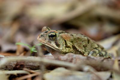 Virginia Amphibians