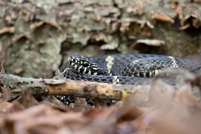 Virginia Reptiles