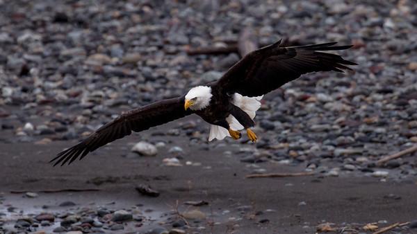 Gliding Bald Eagle