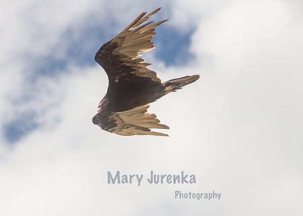 vulture near Saylorville Dam near Ankeny, Iowa