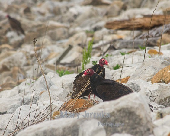 This pair of vultures was taken near Saylorville Dam in Iowa.  This pair was among many pairs possibly nesting on the rocks.
