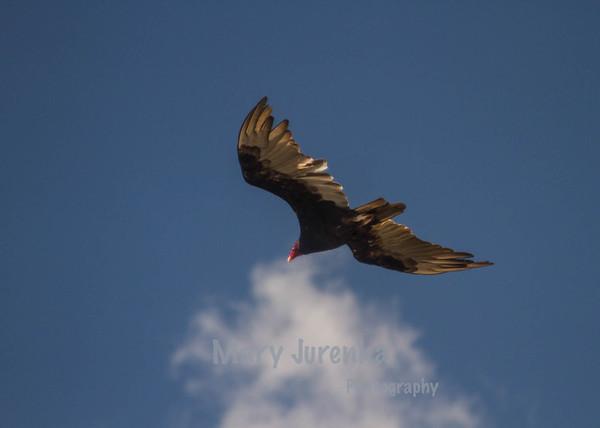 Vulture near Saylorville Dam, Ankeny, Iowa