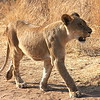 African lioness about four months old