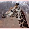 Male giraffe elegant