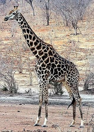 Male giraffe with dark patches
